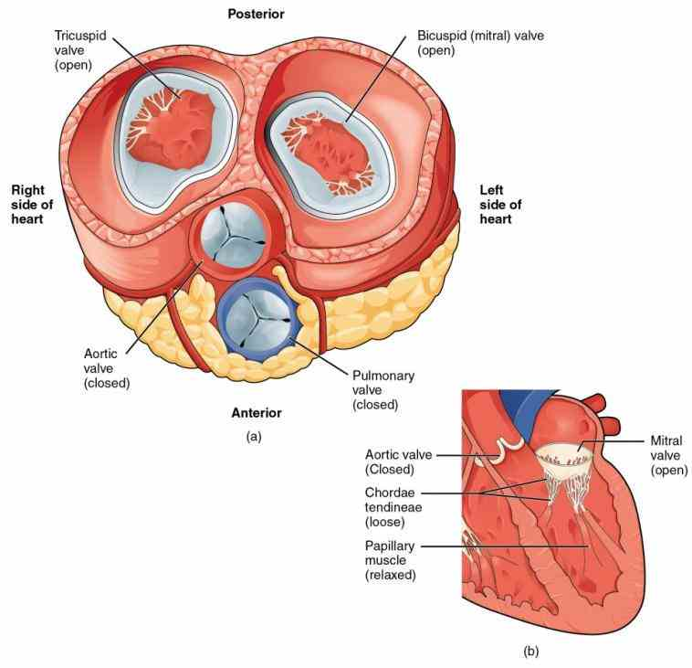ventricle opens to allow blood be pumped from the  american Anatomy Of The Valves In The Heart heart associations