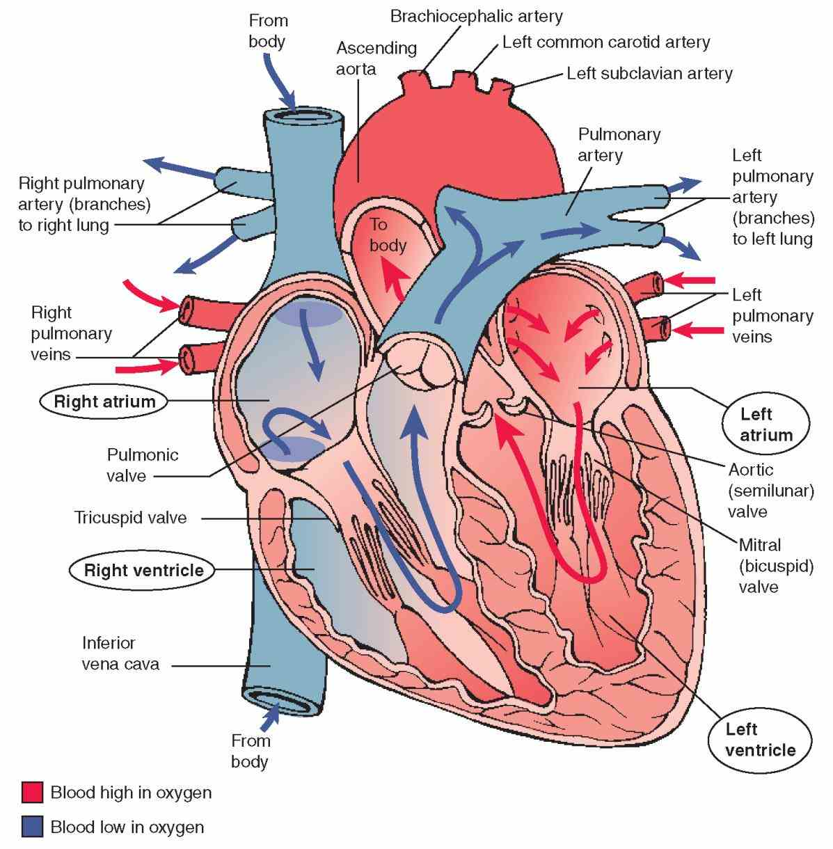 ventricles lower there is a valve through which  heart Heart Valves Structure And Function valves function to promote coordinated