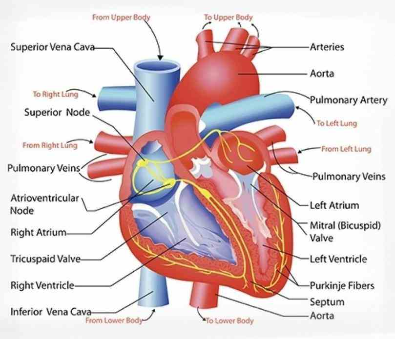 ventricles only allow blood to flow from  the Heart Anatomy Blood Flow Diagram blood coming from lungs to heart