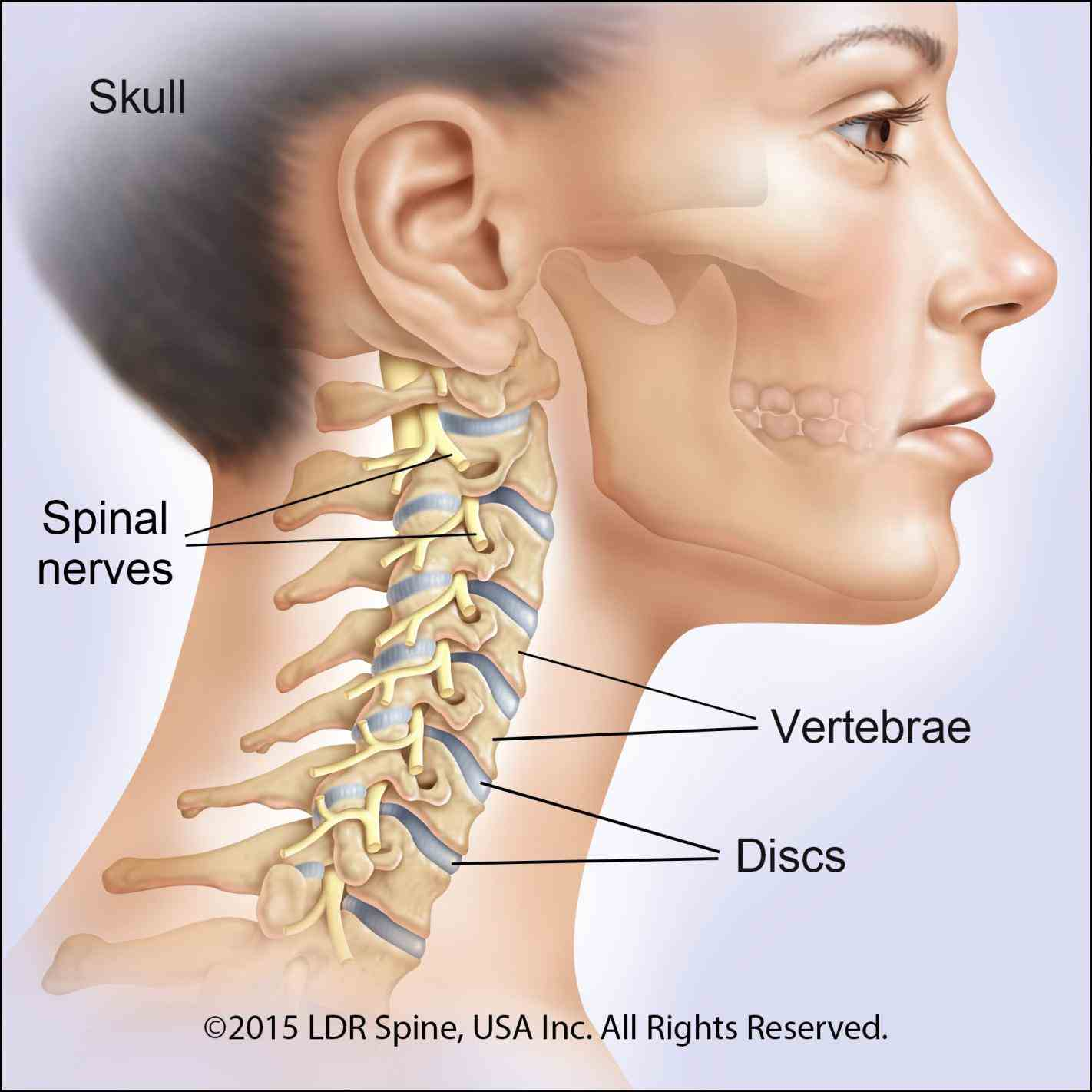 vertebrates cervical vertebrae singular vertebra are the of neck immediately spinal nerves emerge from above for example nerve c