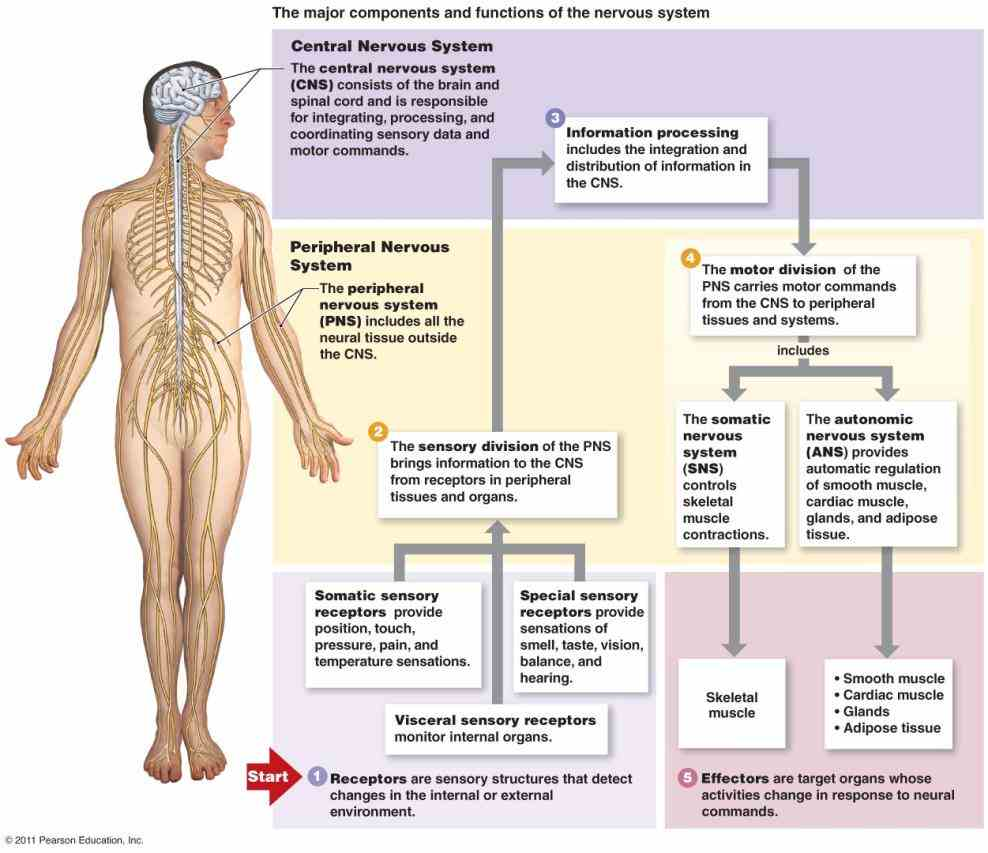 vertebrates nervous system can be broadly divided into nervous Label Of Structure Of Nervous System Of The Body system