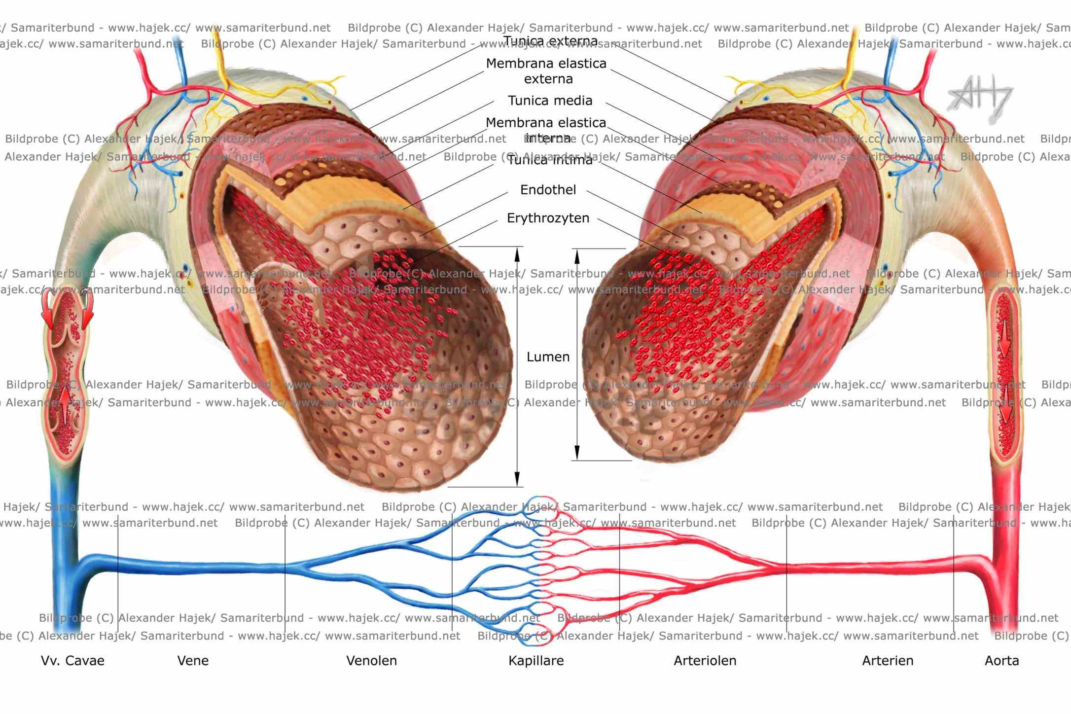 vessel that carries away from heart where it branches into eversmaller the Anatomy Of Blood Vessels In The Body