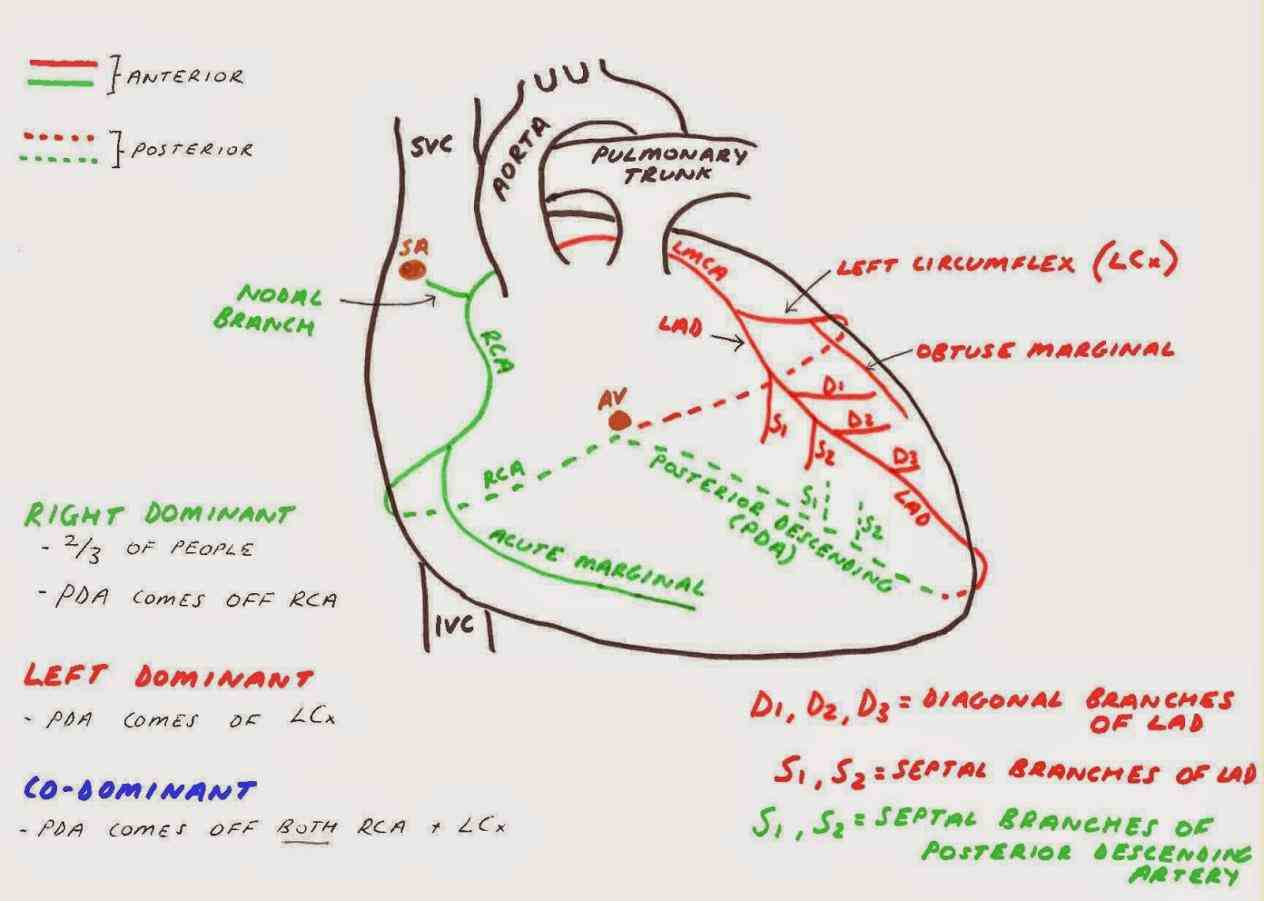 vessels heart muscle schematic diagram arteries and veins two originate from left side at beginning root aorta  coronary Arteries