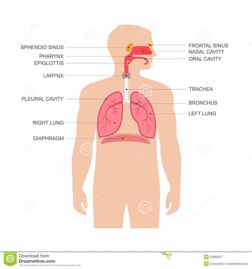 vessels lungs and breathing muscles larynx is essential to human speech anatomy Anatomy Of Human Respiratory System of the