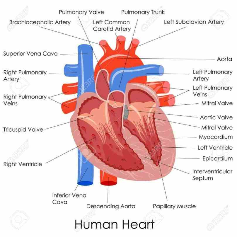 vessels opening into them the wall ventricles  internal Heart Internal Structure Diagrams and external structure of the human heart