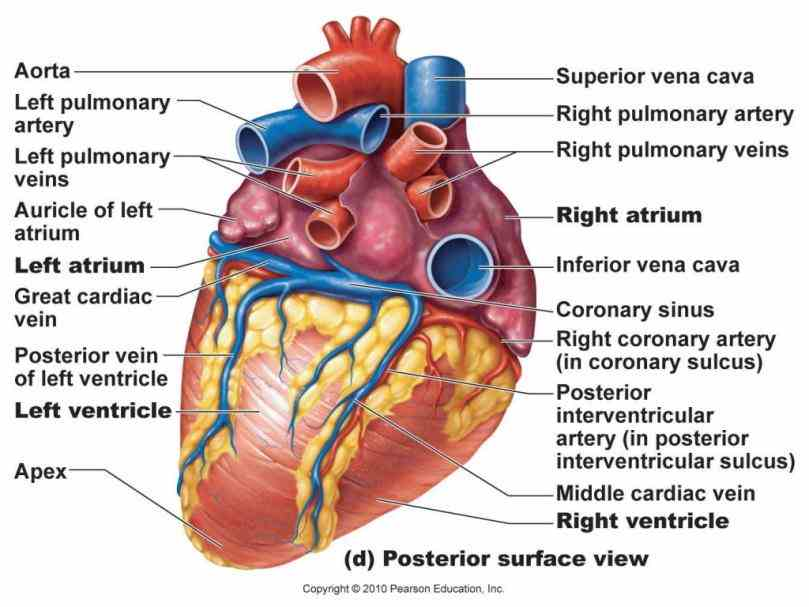 vessels to and from all parts of the body carrying nutrients oxygen tissues and  de Heart System Of Human