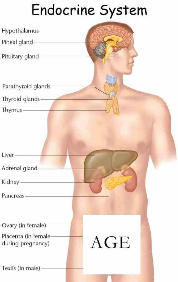 via feedback loops important feedback  the Endocrine System Of Human Body human endocrine system – explore anatomy of glands