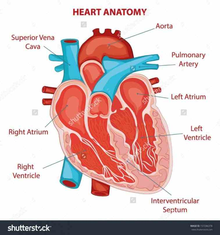 view of the human heart heres a nice little infographic on bone facts many are well known but there