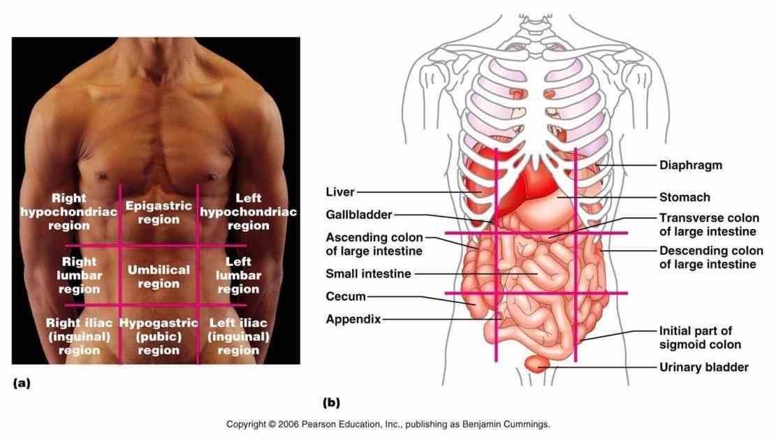 vocabulary transverse plane divides the into two sections one containing head and other tail pectoral pertaining to chest umbilical