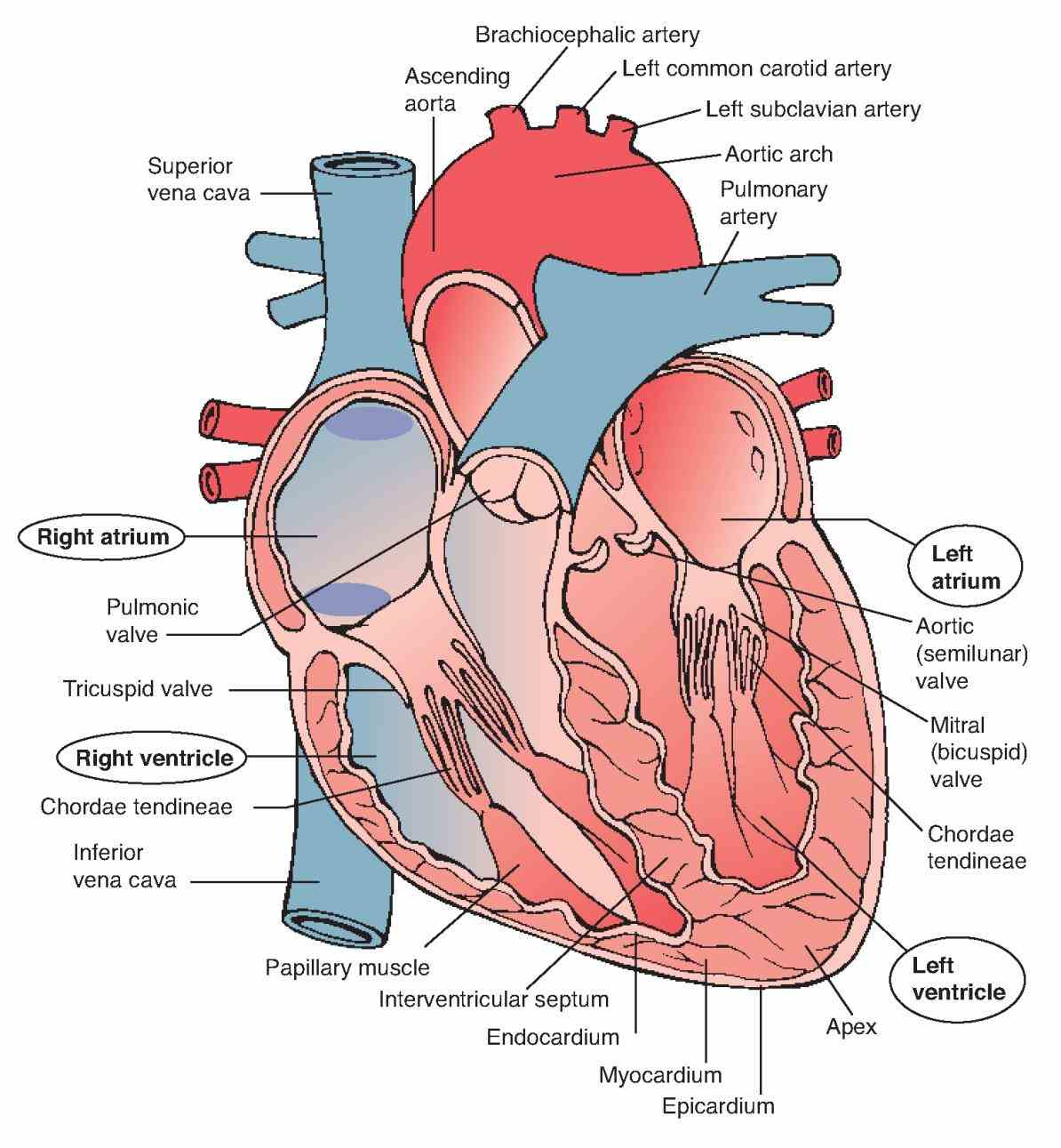 wall is divided into three layers epicardium myocardium and endocardium outer  of Anatomy The Three Layers Of The Heart