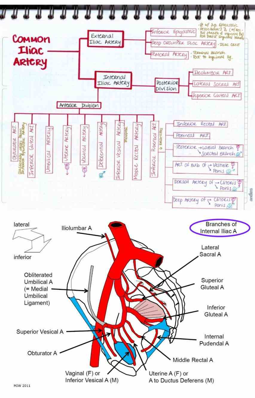 we will look at anatomy of pelvic arteries  the Anatomy Of Internal Iliac Artery internal iliac artery divides into