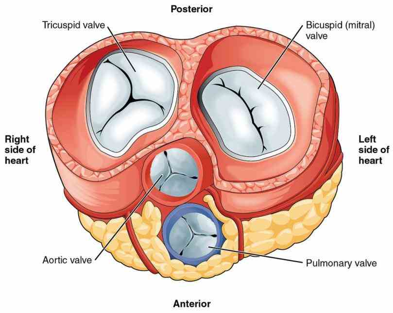 what Anatomy Of Valves In The Human Heart are heart valves the consists of four chambers two atria