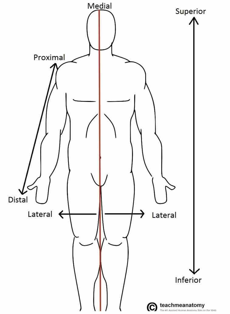 what is superior in one position inferior in ir Anterior Anatomical Position para superior and inferior in anatomical terminology