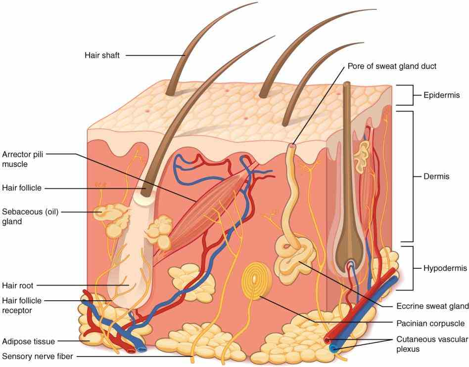 what makes up your skin layers protection first foremost the protects underlying structures by  the Integumentary System Functions And