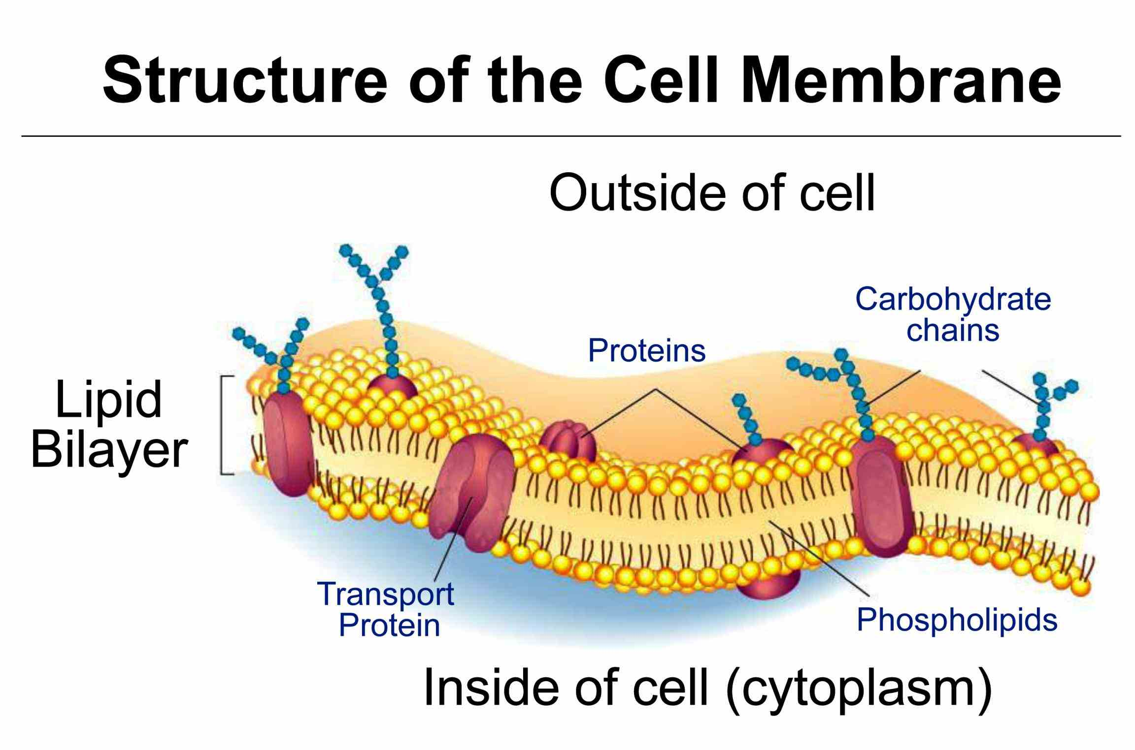 when Glycoprotein Function In Cell Membrane located in the cell membrane glycoproteins help to identify adhere and communicate