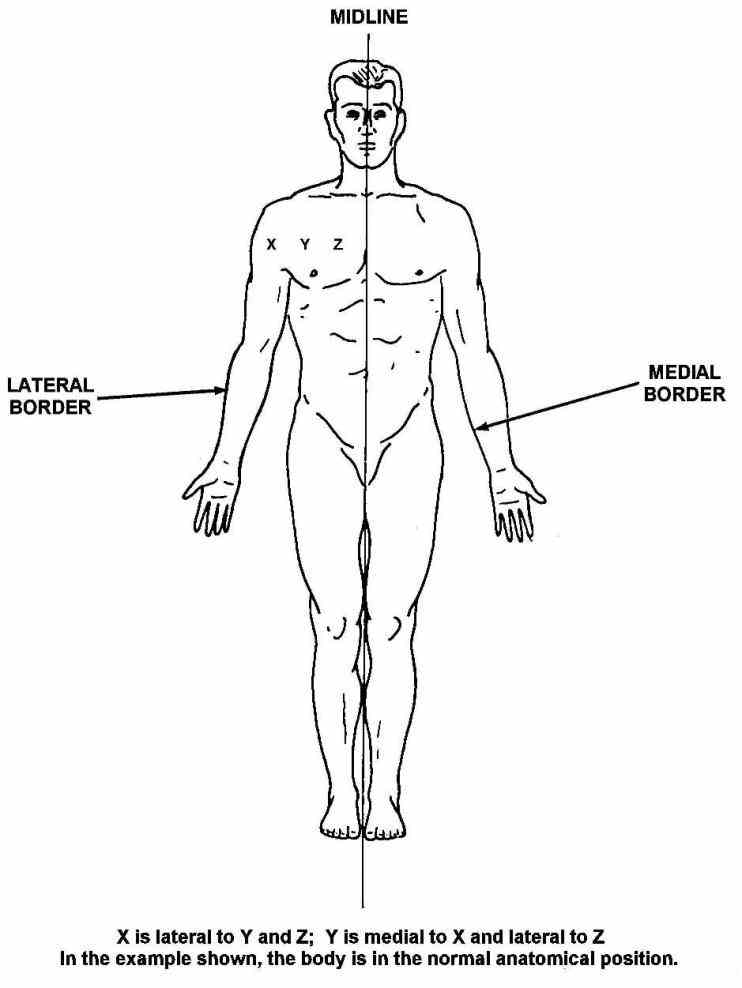when describing the position structures may be described according to here rostral refers proximity front nose particularly skull de