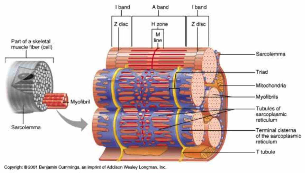 which a long cylindrical cell that contains many nuclei mitochondria and  de Anatomy Of A Skeletal Muscle Fiber ago