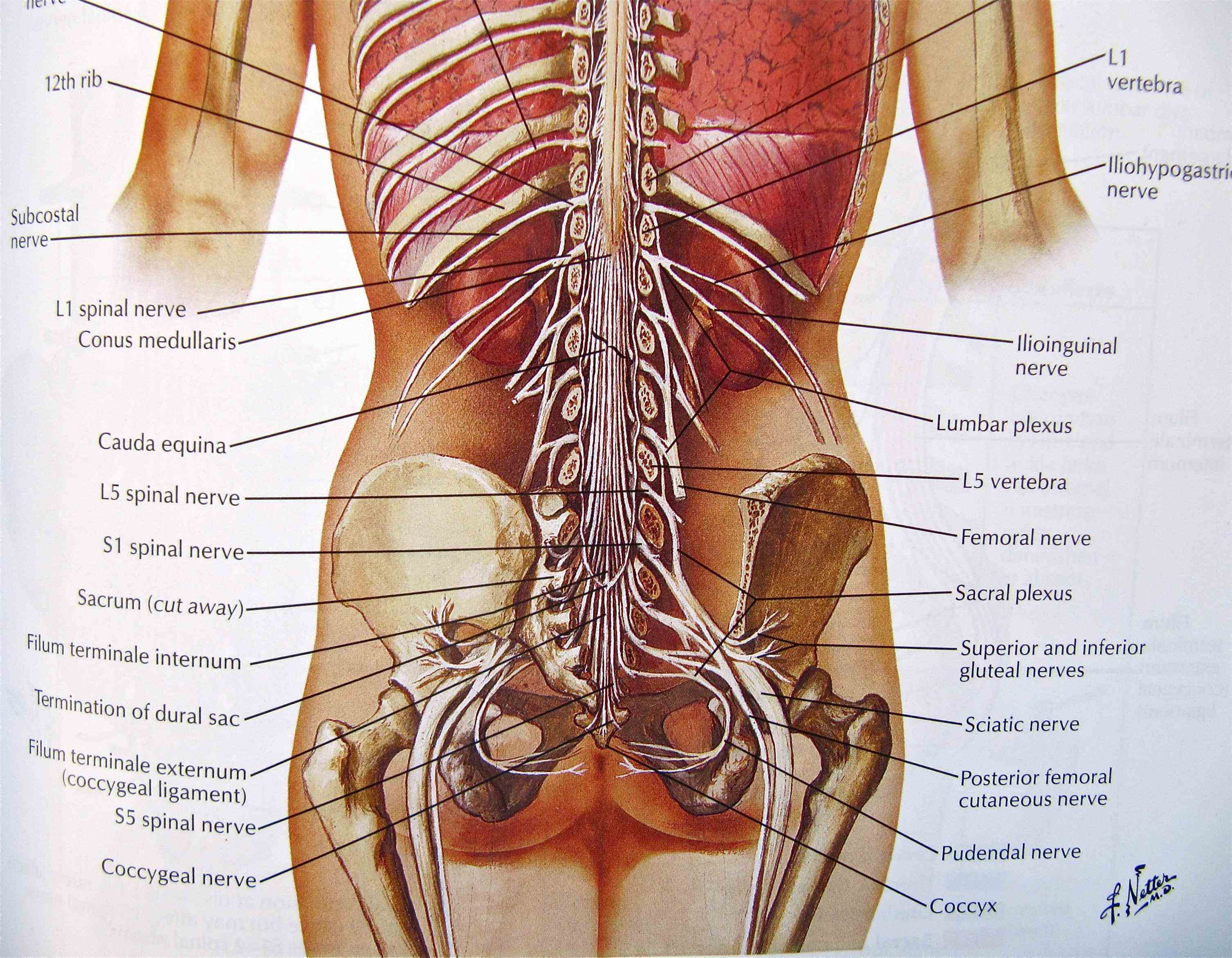which carries motor sensory and autonomic signals between the cord body in human there are pairs nerves one each