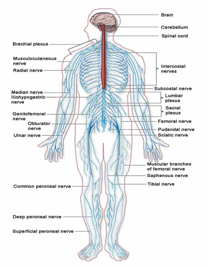 which consists of brain and spinal cord peripheral  ir Anatomy The Nervous System para anatomy in vertebrates the nervous