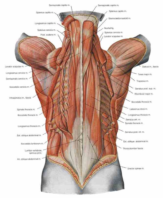 will compensate by shifting trunk to side; this  the Lower Back Parts Of The Body spine of lower back