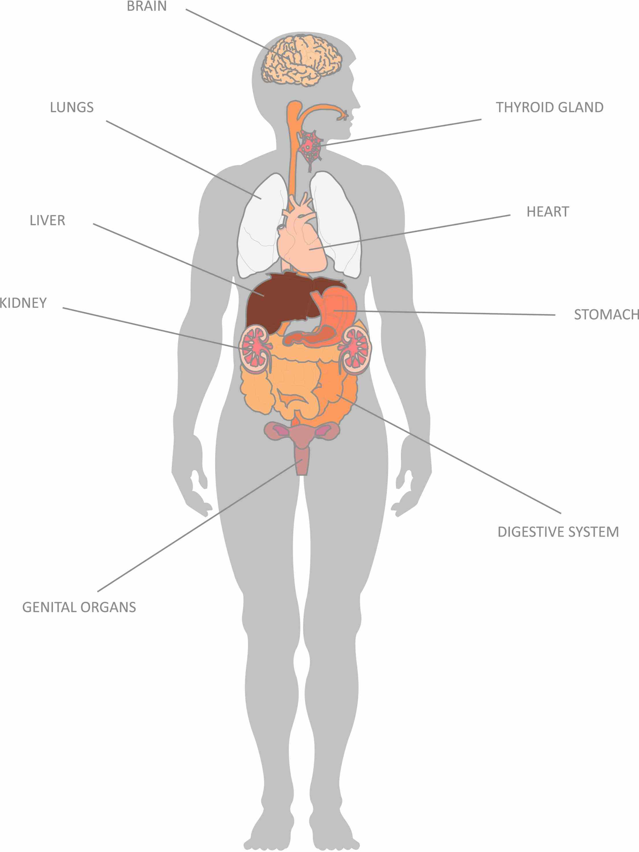 with functions there are almost in a human body which vary according to their sizes or actions other major