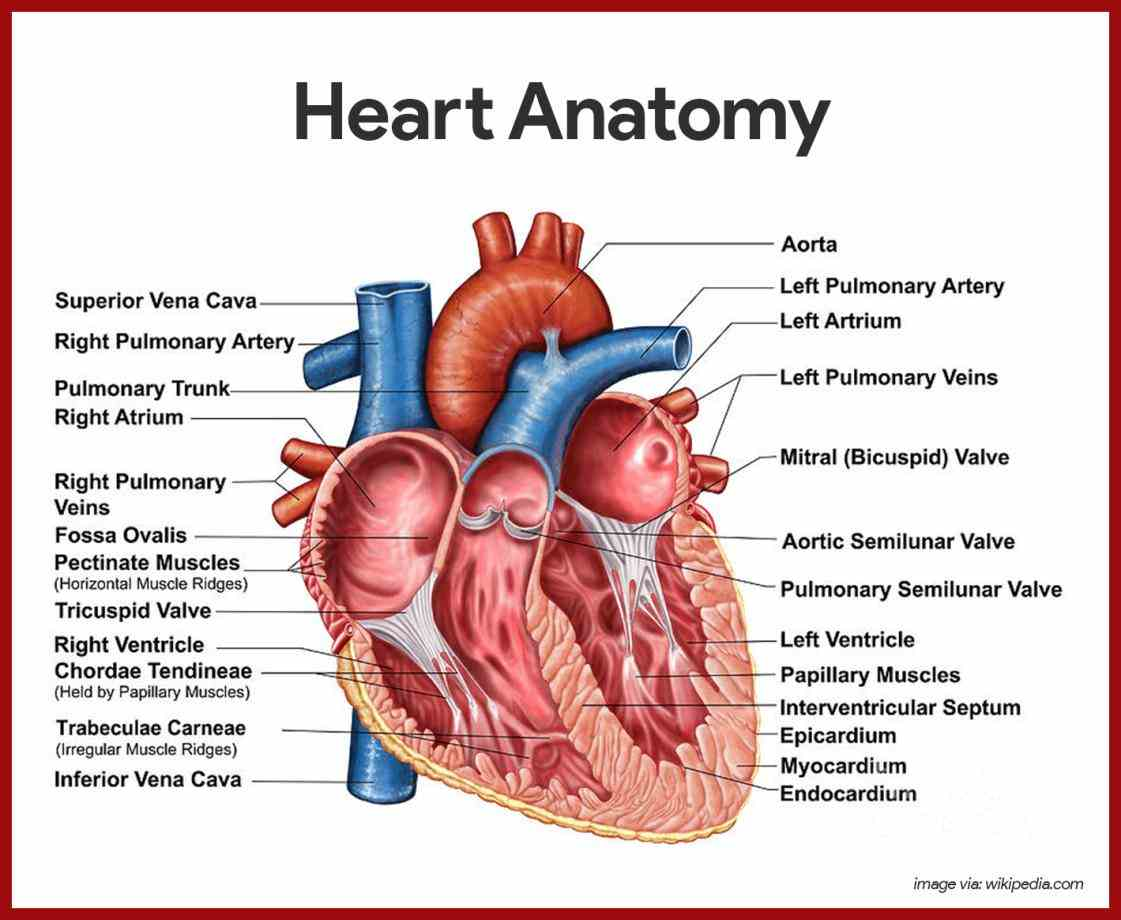 with help of structures such as ventricles atria and valves diagram anatomical structure narrow size coronary arteries their function