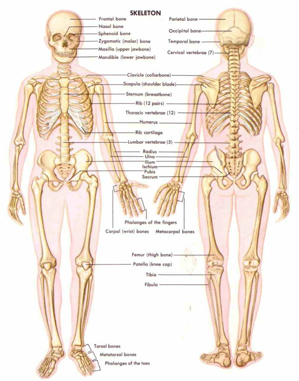 with many aspects of studying anatomy & physiology it is important to be familiar the axial and appendicular skeleton