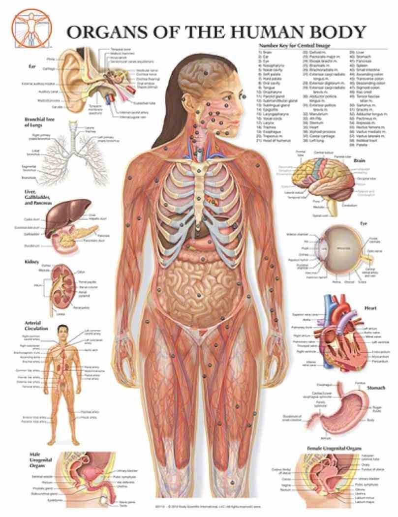 with of the view systems down to their smallest parts and  organs Picture Of Human Anatomy With Organs human