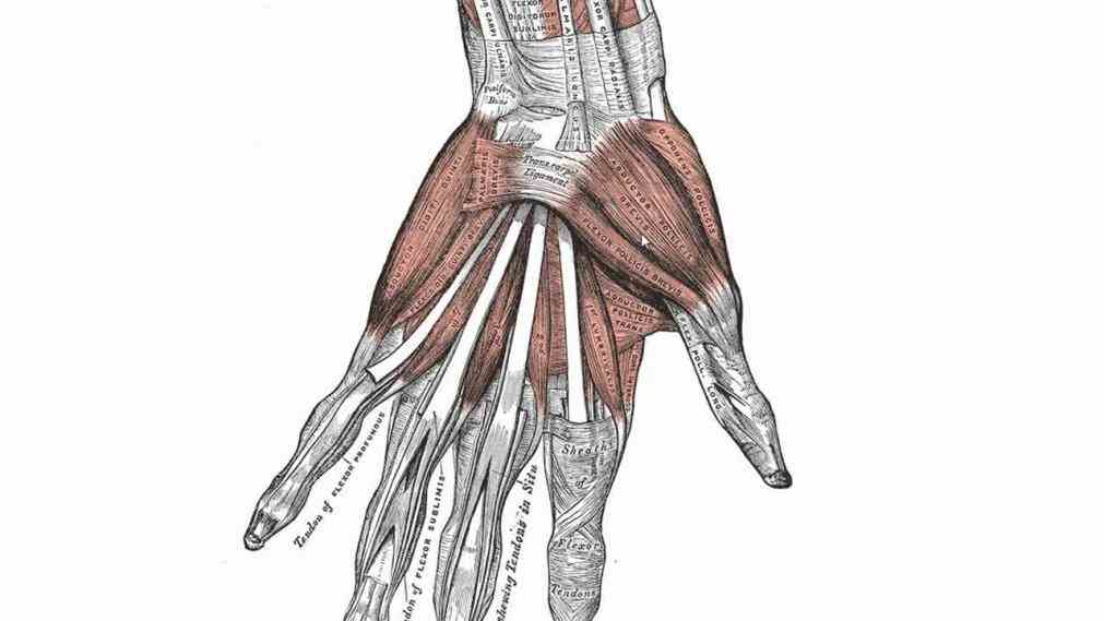 with support flexibility to forearms ulna radius many muscles that manipulate the  see Human Hand Muscles Image a rich