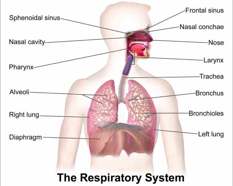within the body requires oxygen to function respiratory system which includes air passages pulmonary vessels most of organs help