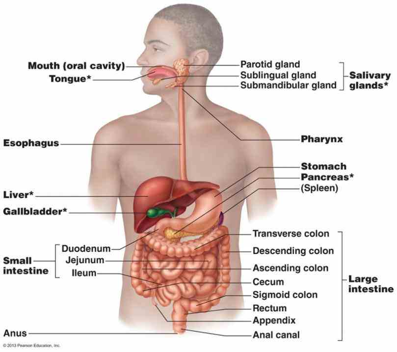 within the digestive system mouth and teethgrind food into smaller pieces so that it can easily slide down esophagus