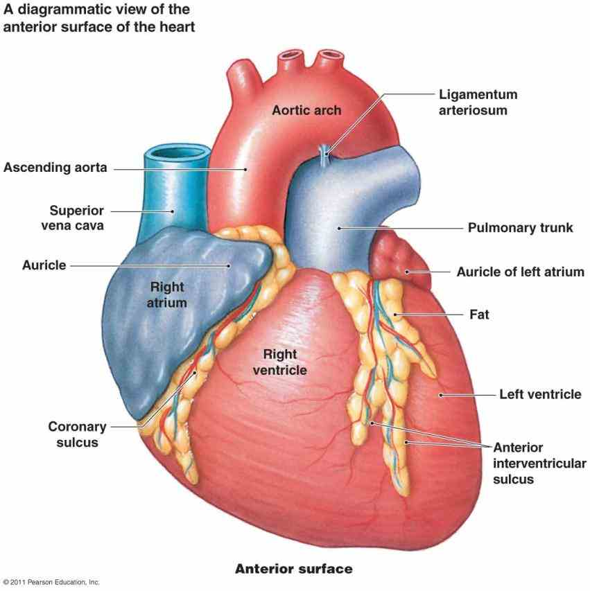 wondered how it keeps operating read all about important anatomy here! the Anatomy Of The Chambers Of The Heart