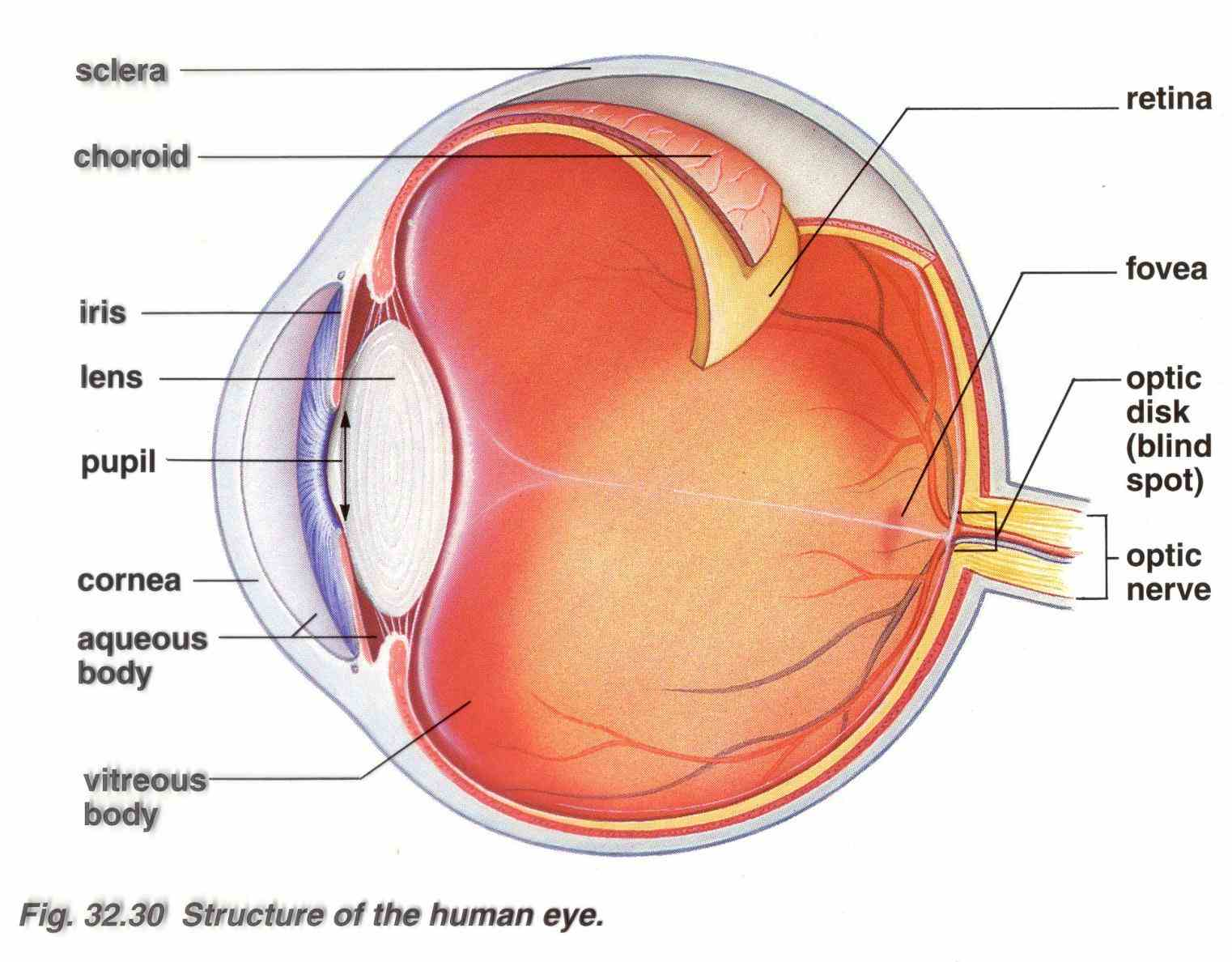 works cornea Diagram Of The Human Eye the clear outer part of eyes focusing system located at front eye