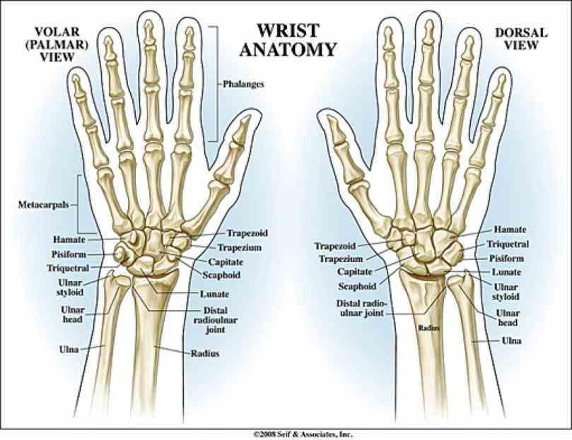 "wrist carpus and horses cows other quadrupeds ""knee"" foreleg carpal Carpal Bones bones wikipedia u google images carpal Carpal"