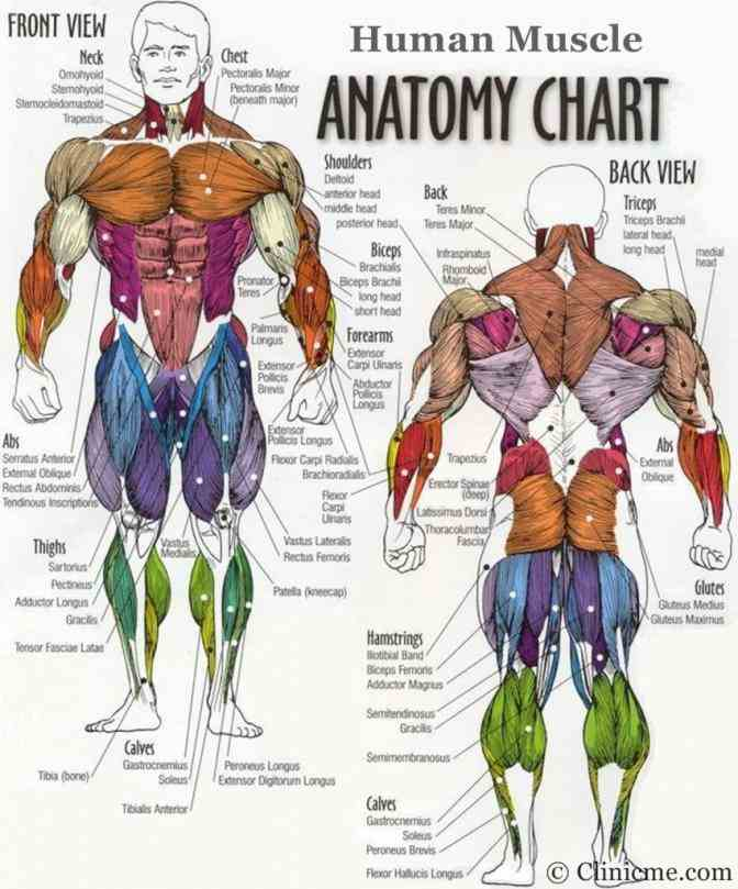 you add up all capillaries and hair  muscles All The Muscles In The Human Body of the human body