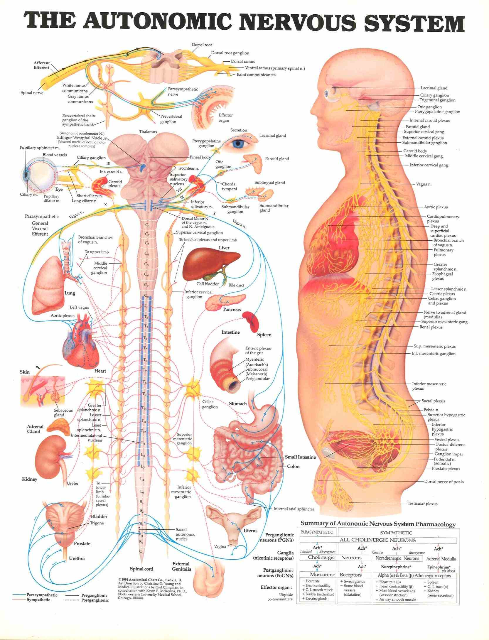 you have in your mind of nervous system probably includes brain tissue contained within cranium and spinal cord the