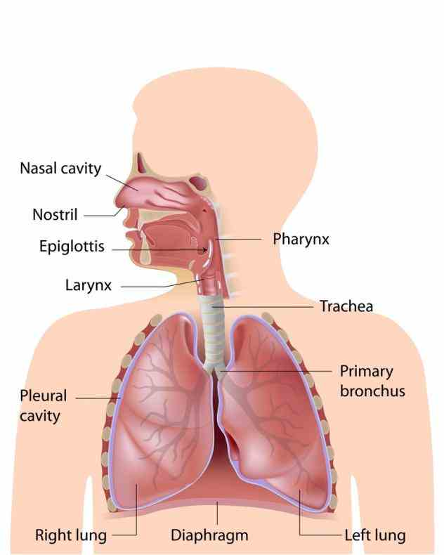 you take a breath oxygen makes it way into your lungs follow along respiratory system de Anatomy Lungs Respiratory