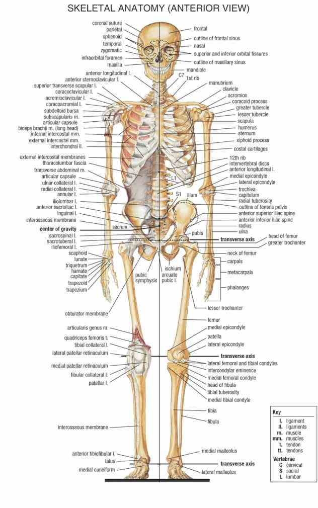 you to includes all of bones joints in body de Anatomy Of Bones In The Human Body jul there