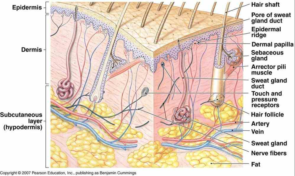 Integumentary System Parts And Functions Picture ...