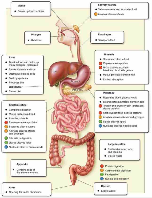 your digestive system is uniquely designed to turn the food you eat into nutrients which body uses for energy