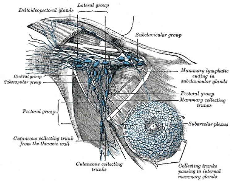 Axillary Lymph Nodes Pictures Wallpapers