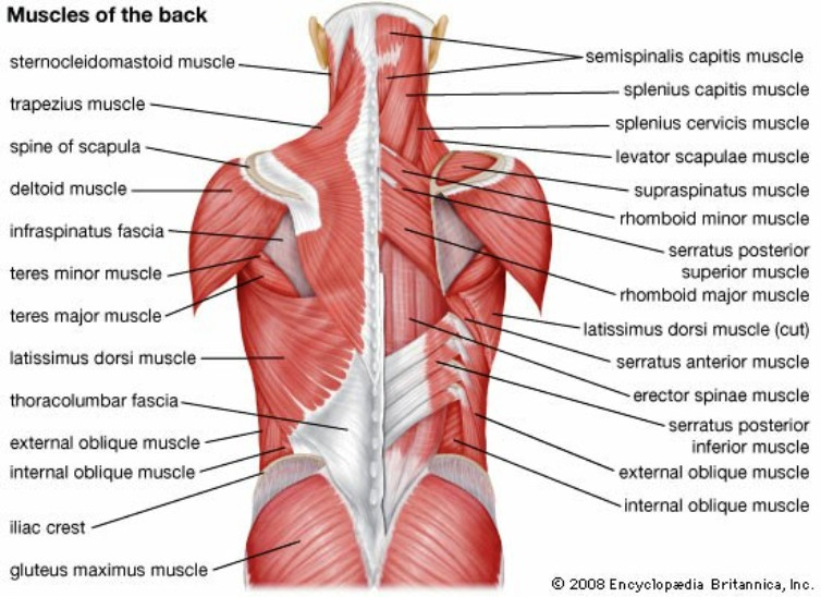 Back Muscle Anatomy Pictures Wallpapers