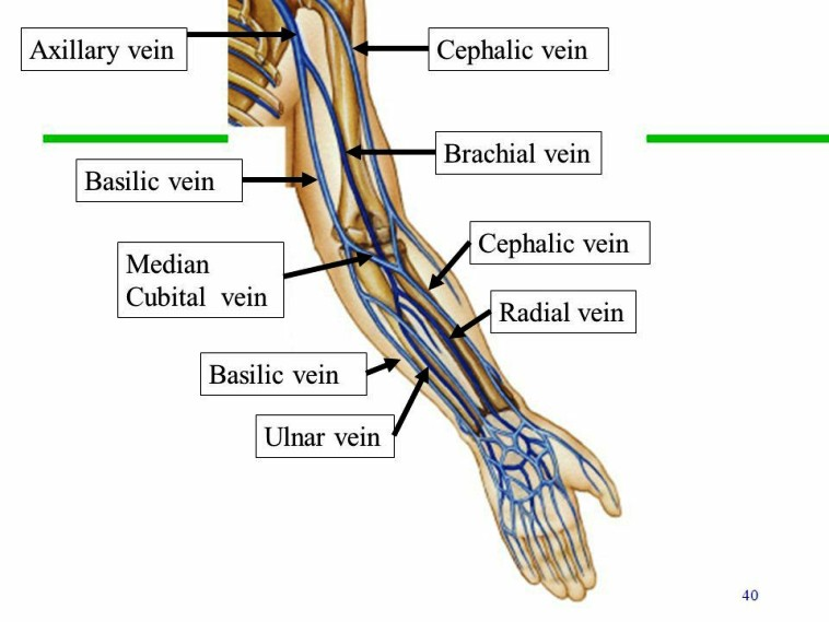 Basilic Vein Pictures Wallpapers