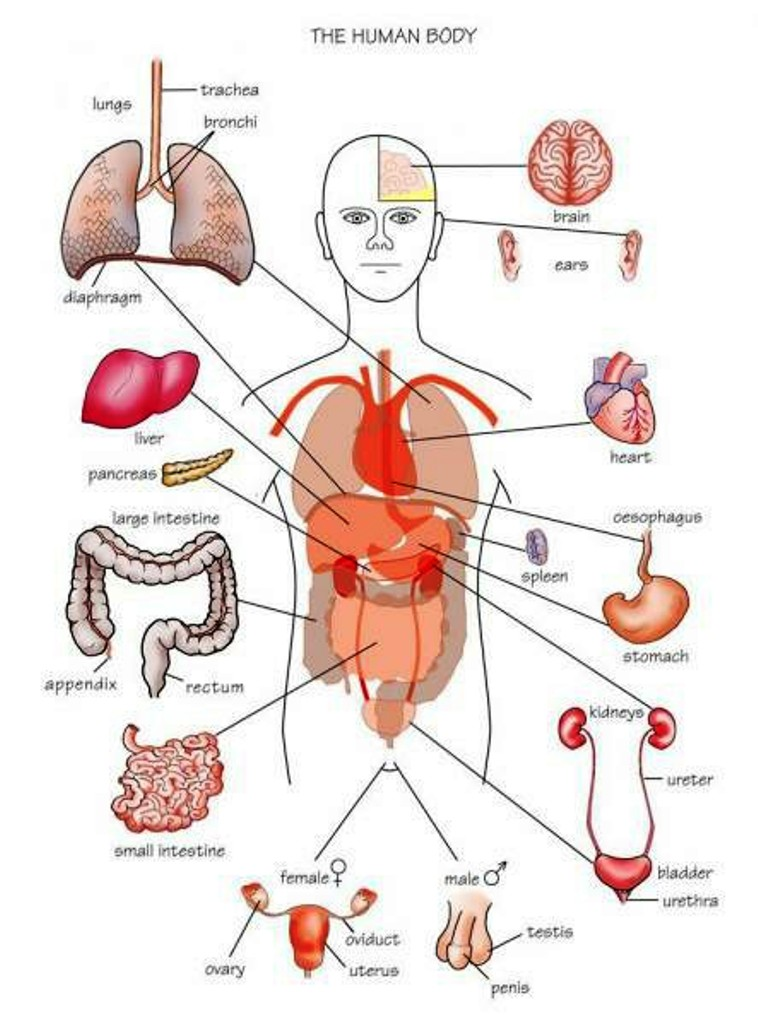 Body Organs Pictures Wallpapers