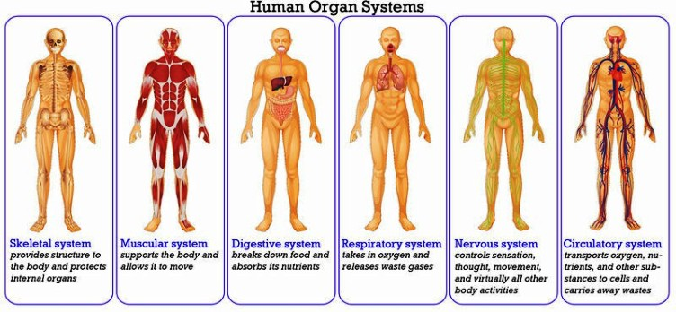 Body Systems Pictures Wallpapers