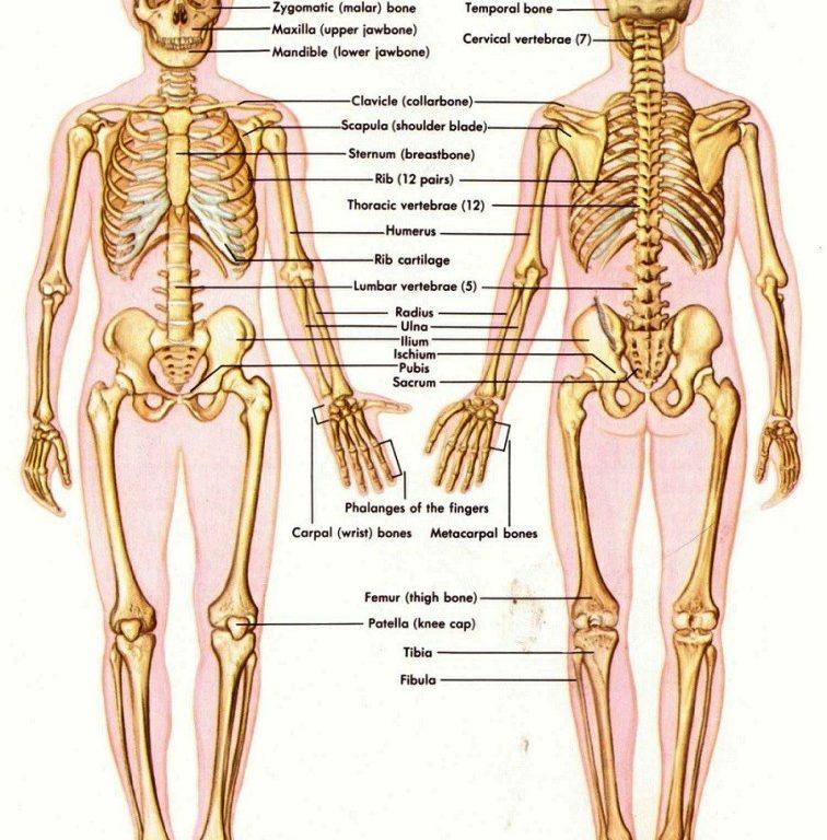 Anatomy of bones in human body