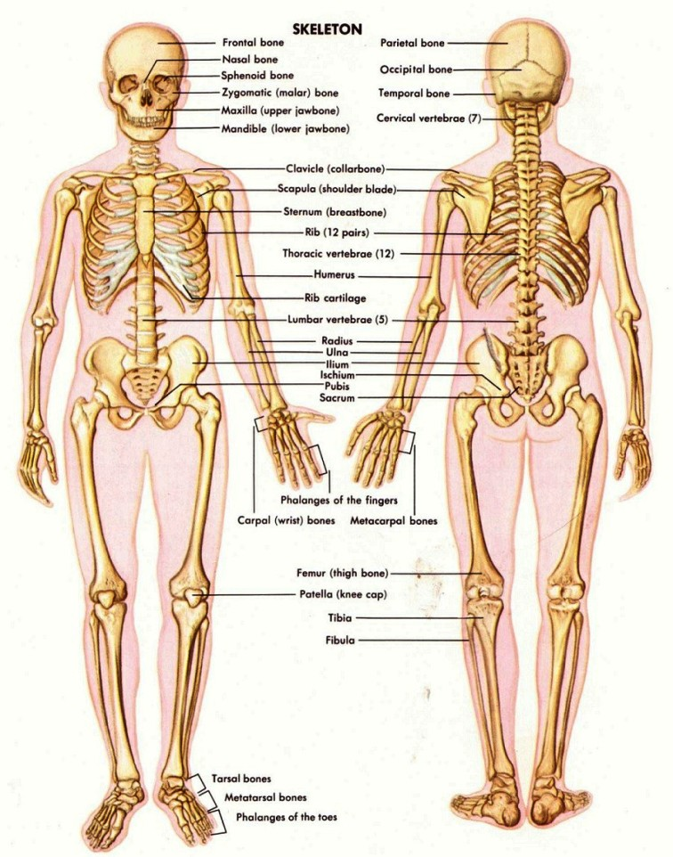 Bones In The Body Pictures Wallpapers