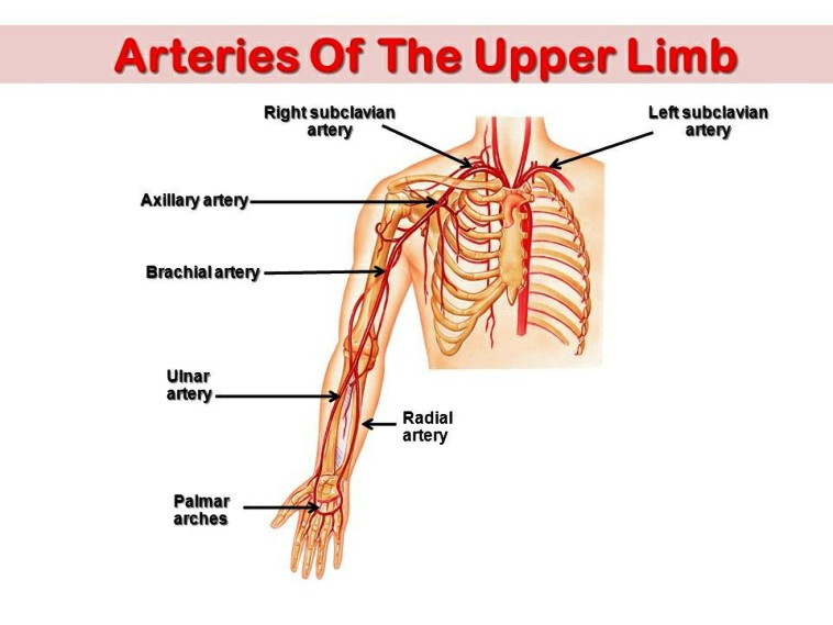 Brachial Artery Pictures Wallpapers