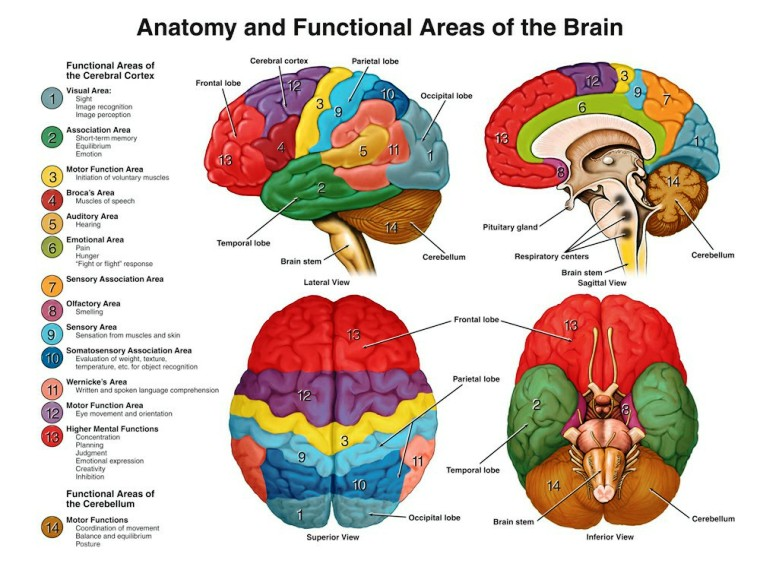 Brain Anatomy Pictures Wallpapers