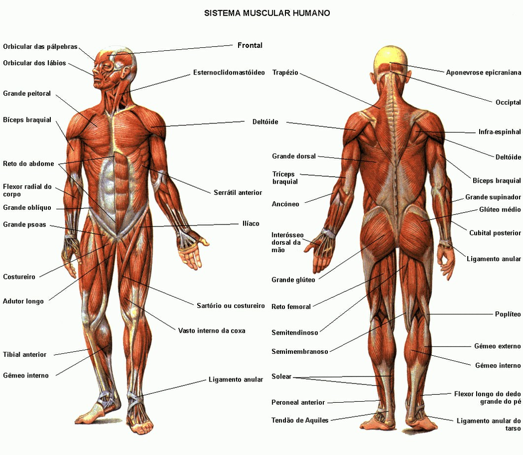 Human Muscle System Diagram Human Muscular System Diagram Anatomy | Gethumananatomy Pictures Wallpapers